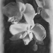 Butterfly Orchid, charcoal on Mylar